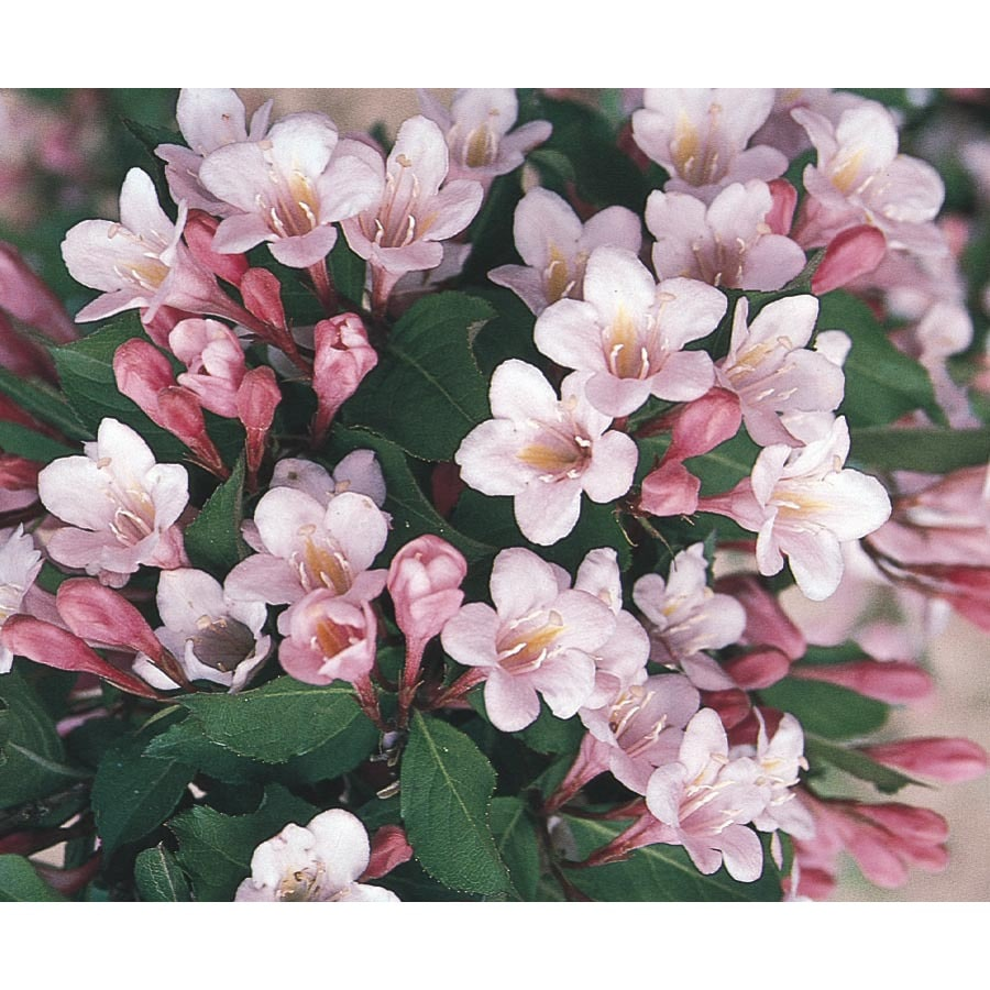 6.96-Gallon Pink Polka Weigela Flowering Shrub (L11405)