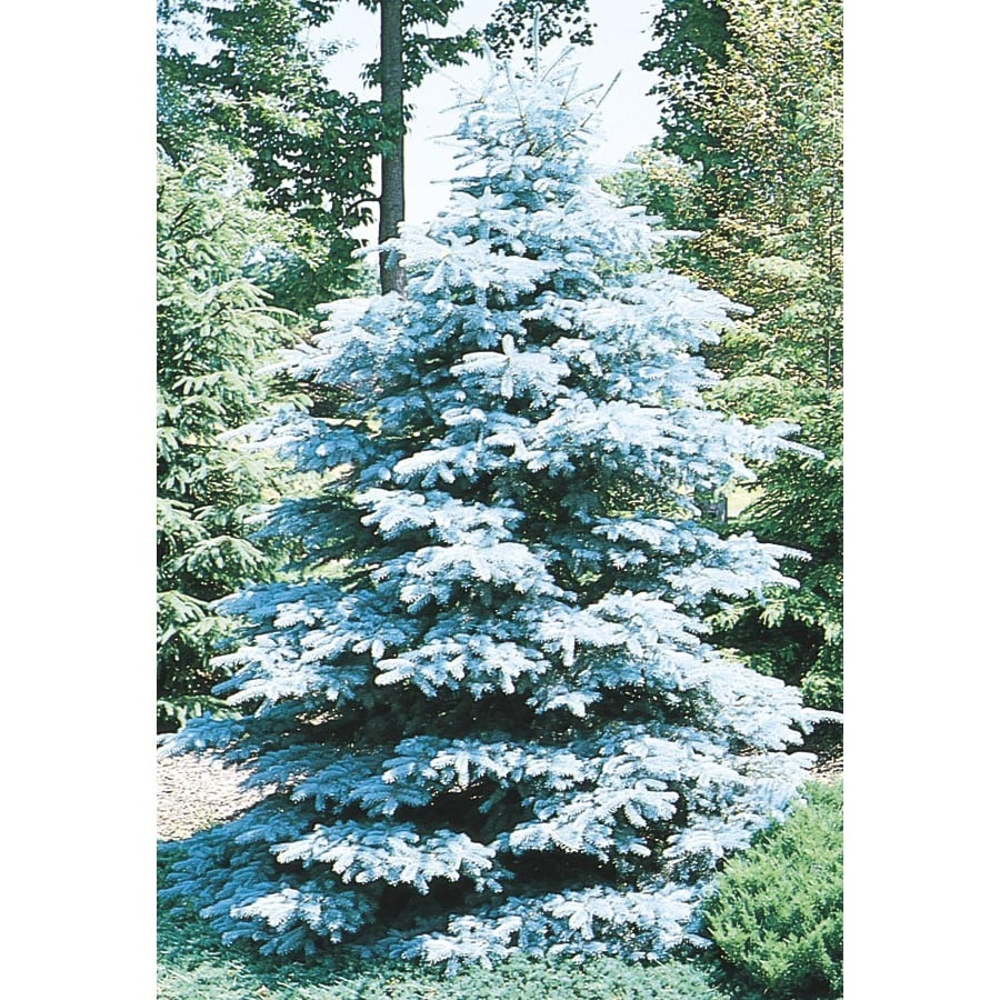 6.96-Gallon HooPSI Blue Spruce Feature Tree (L4101)