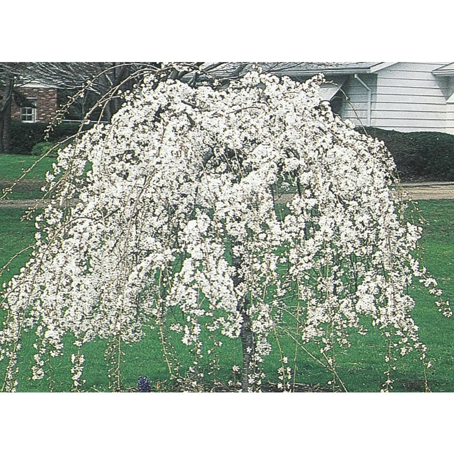 19.78-Gallon Weeping Snow Fountain Cherry Feature Tree (L7207)