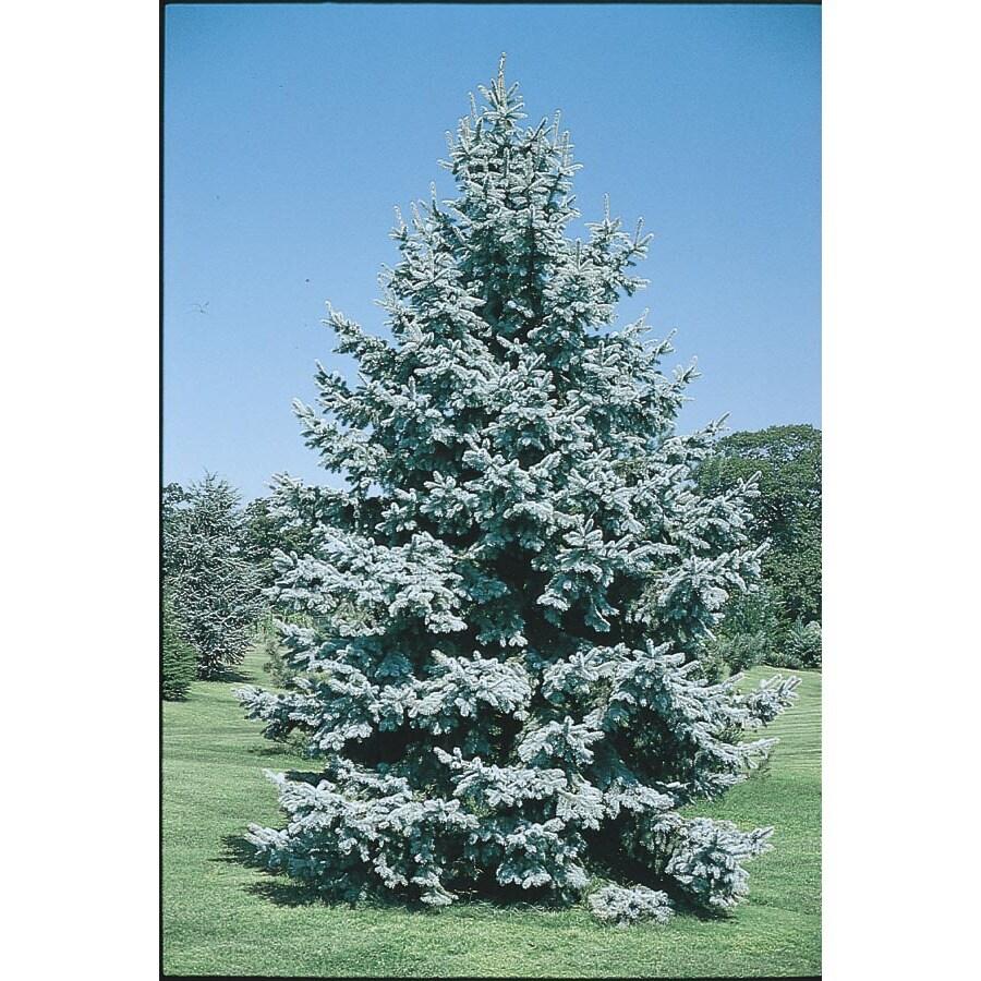 19.5-Gallon Colorado Blue Spruce Feature Tree (L3937)