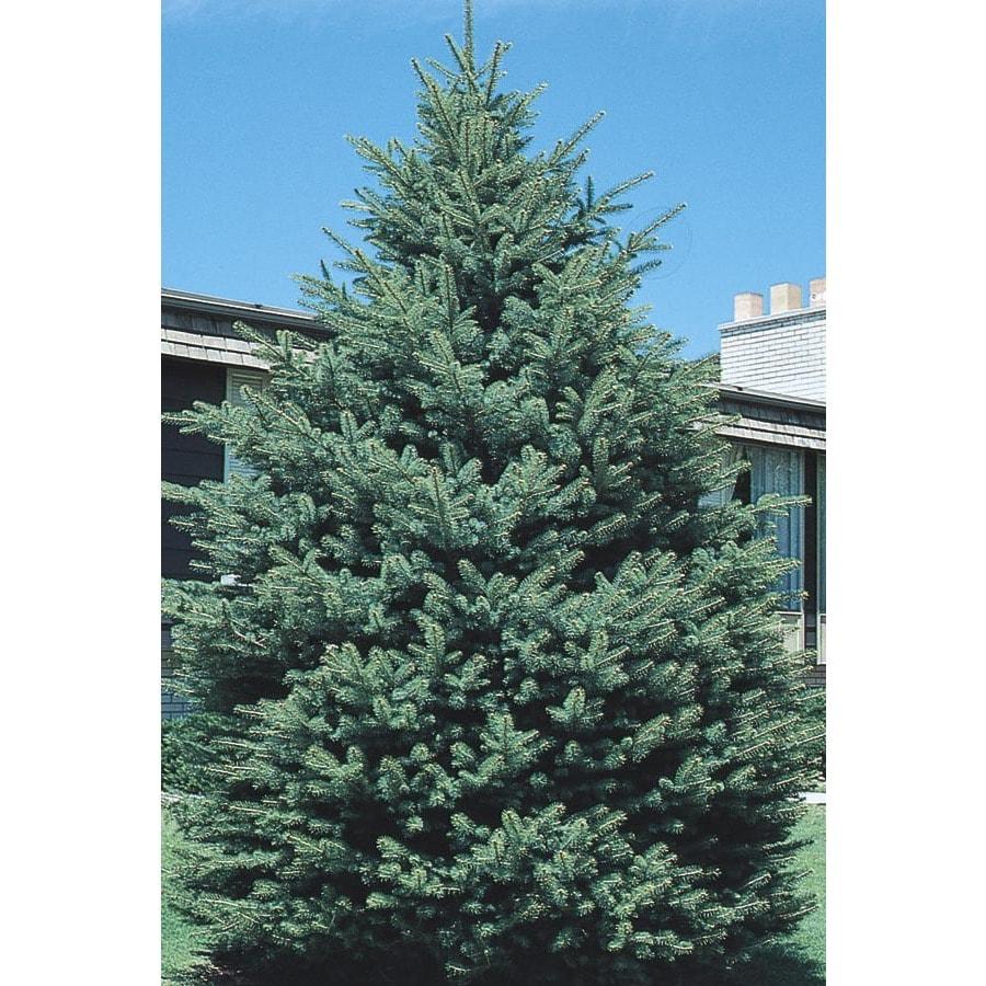 12.07-Gallon Black Hills Spruce Feature Tree (L4531)