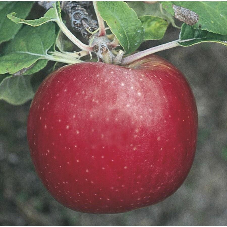 5.98-Gallon Morning Mist Apple Tree (L24783)
