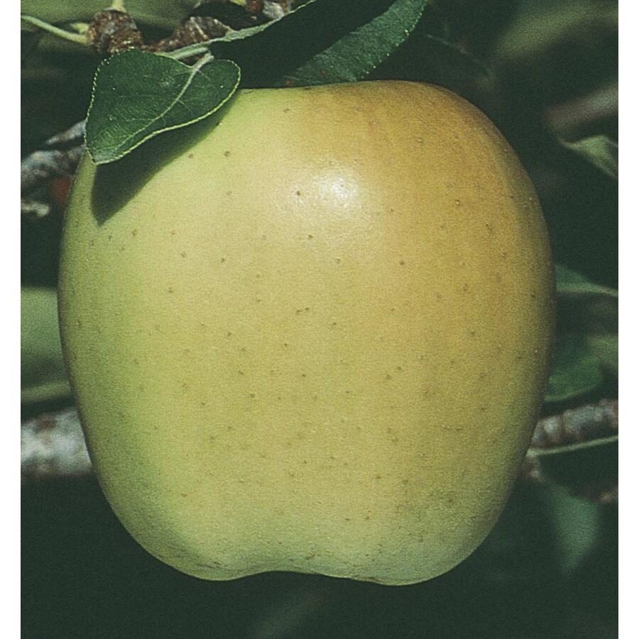 5-Gallon Mutsu Apple Tree (L6890)