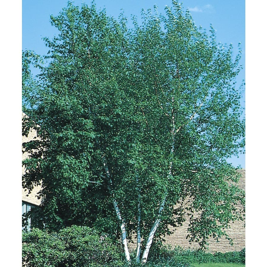 12.07-Gallon Whitespire Clump Birch Feature Tree (L3818)