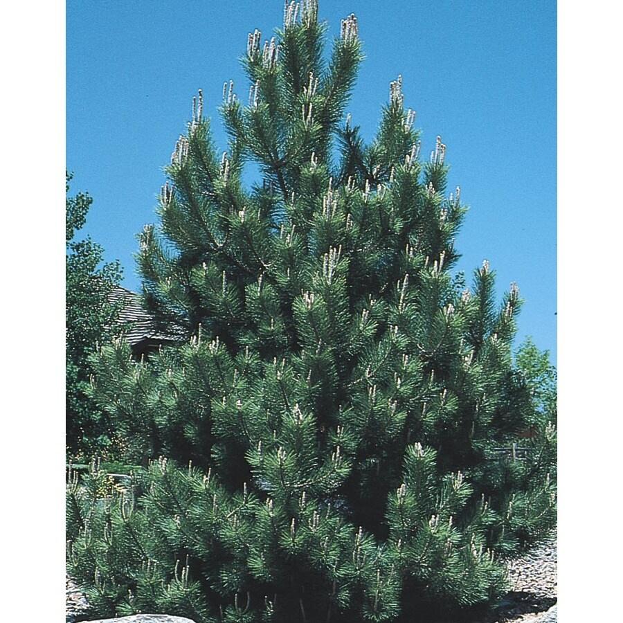 12.07-Gallon Austrian Black Pine Feature Tree (L3618)