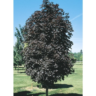 12 07 Gallon Crimson Sentry Norway Maple Shade Tree In Pot With