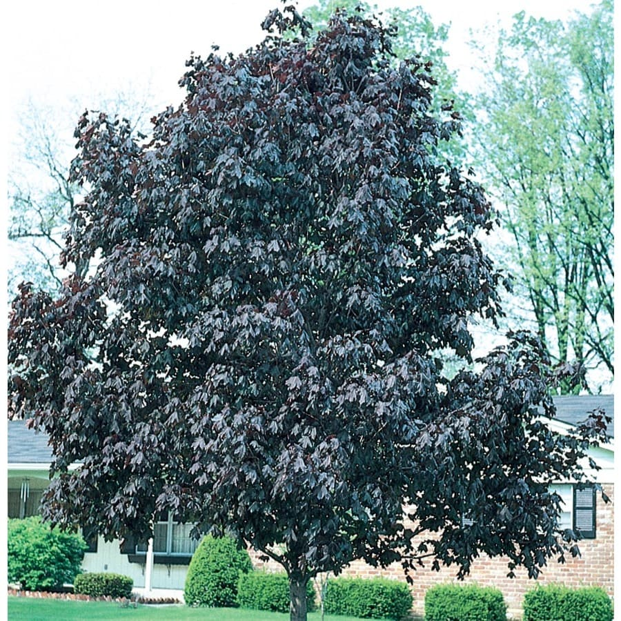 12.07-Gallon Royal Red Norway Maple Shade Tree (L1156)