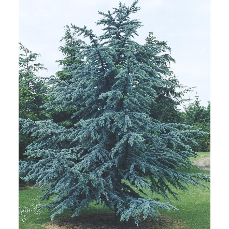 12.07-Gallon Blue Atlas Cedar Feature Tree (L4673)
