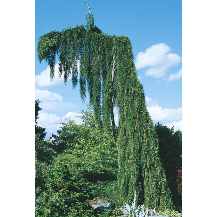 12.07-Gallon Weeping Sequoia Feature Tree (L14274)