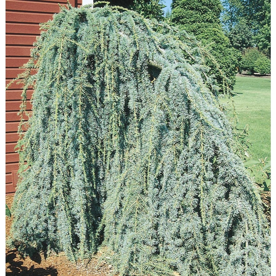 12.07-Gallon Weeping Blue Atlas Cedar Feature Tree (L8098)