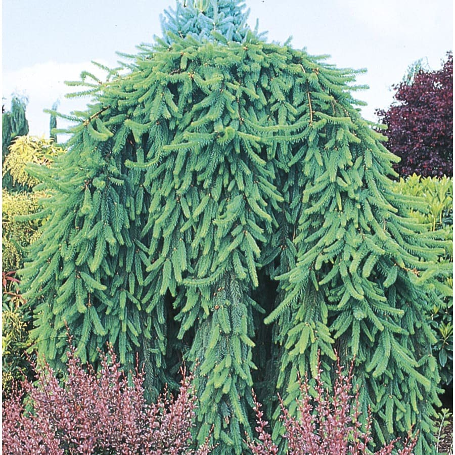 12-Gallon Weeping Norway Spruce Feature Shrub (L4097)