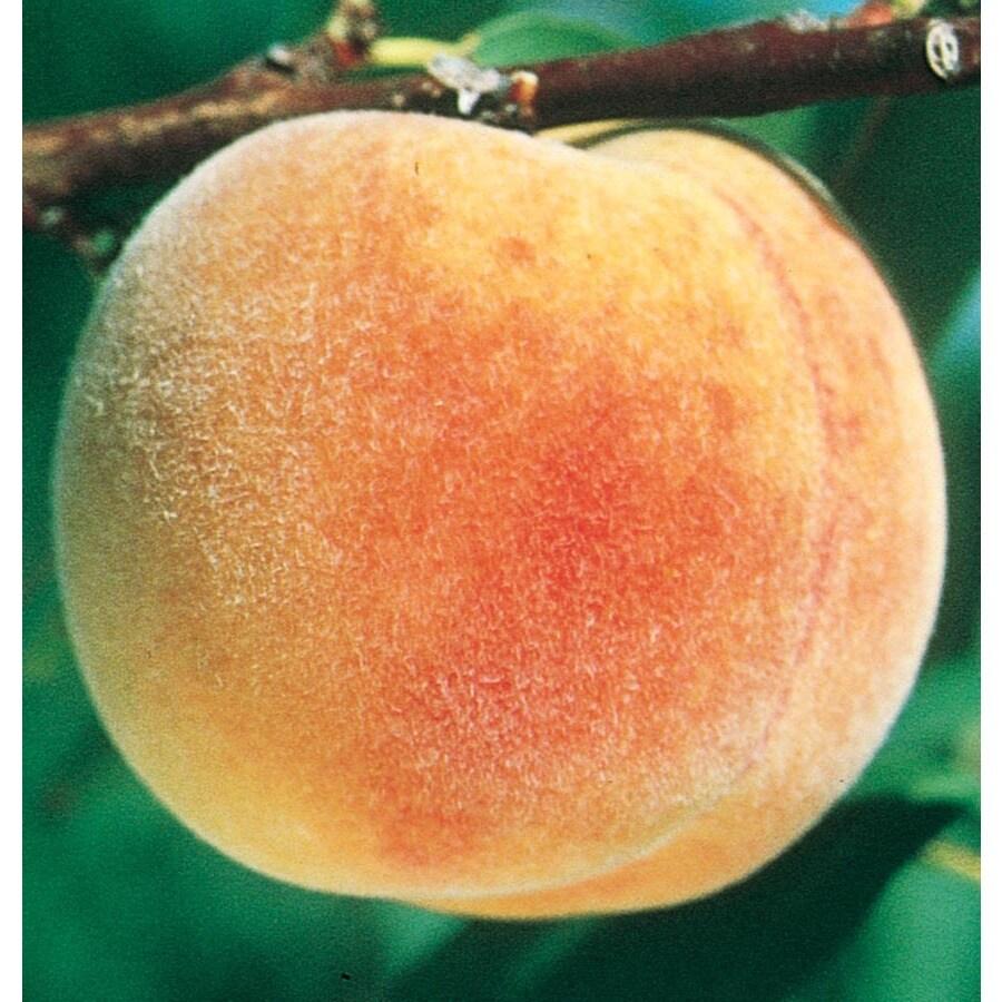 3.63-Gallon Veteran Peach Tree (LFT016)