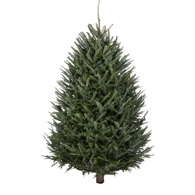 Fresh Christmas Tree.3 5 Ft Fraser Fir Real Christmas Tree At Lowes Com