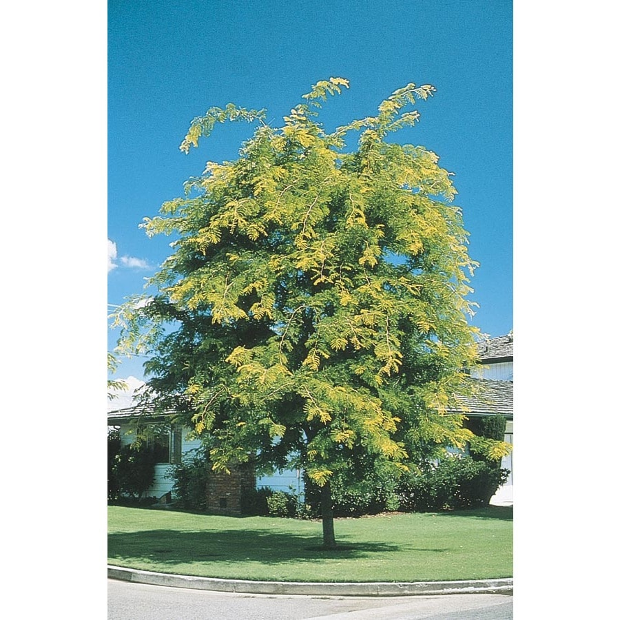 5 Gallon Sunburst Honeylocust Shade Tree In Pot With Soil L1059