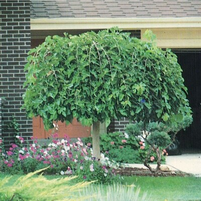 3 25 Gallon Weeping Mulberry Feature Tree L4377 At Lowes Com