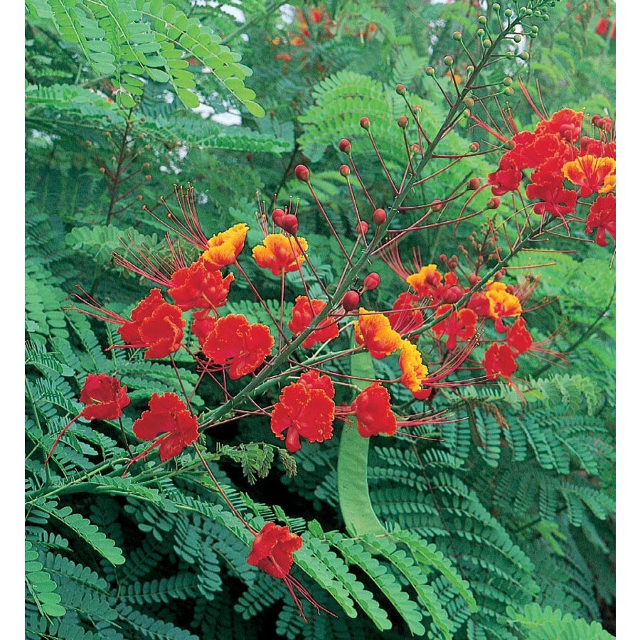 2.5-Quart Red Bird Of Paradise (L10713)