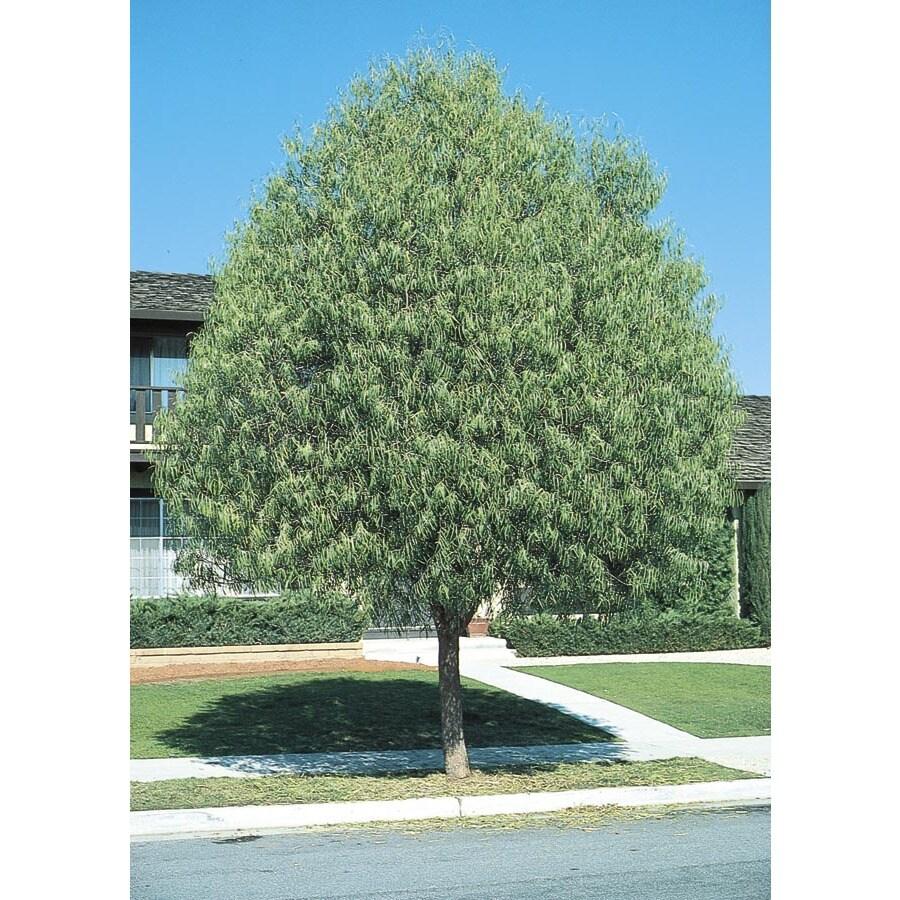 3.25-Gallon Desert Willow Shade Tree (L1105)