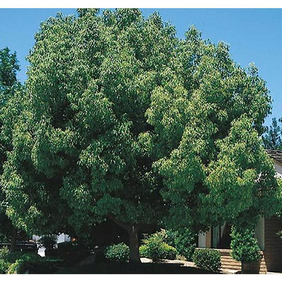 Village Nurseries 28.5-Gallon Camphor Tree Feature Tree (L9393)