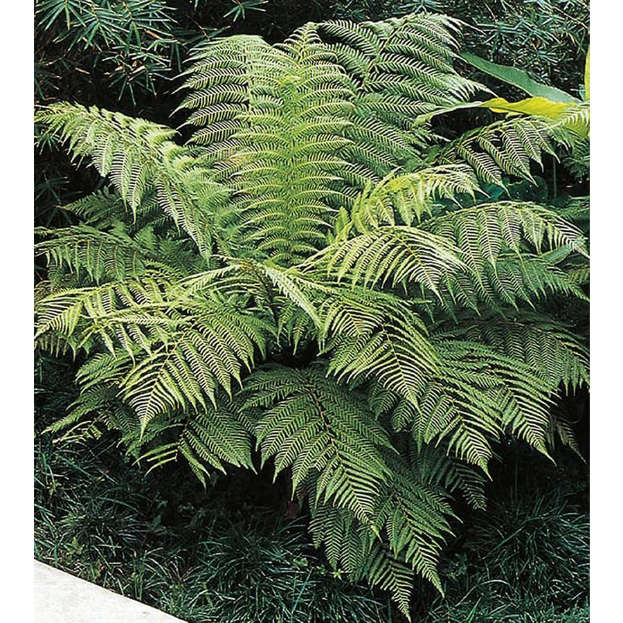 11.10-Gallon New Zealand Tree Fern Feature Shrub (L11497)