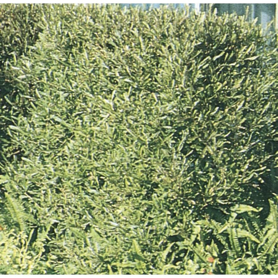 2.5-Quart Hopseed Bush Screening Shrub (L14895)