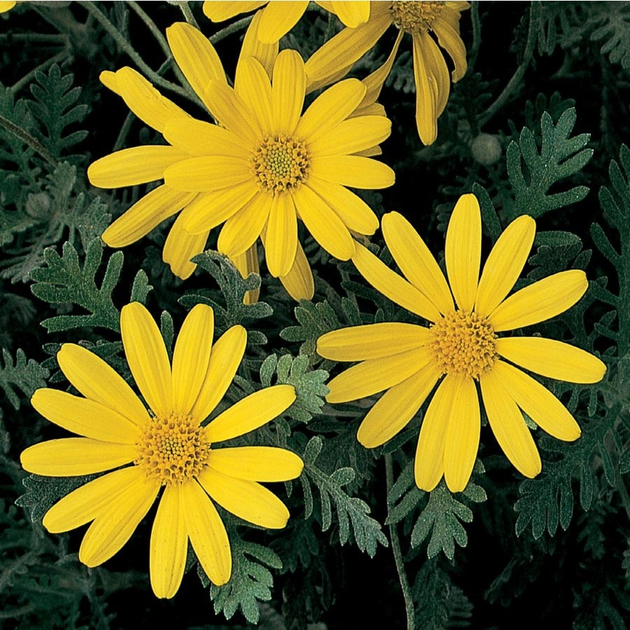 3-Gallon Cape Daisy (L9401)