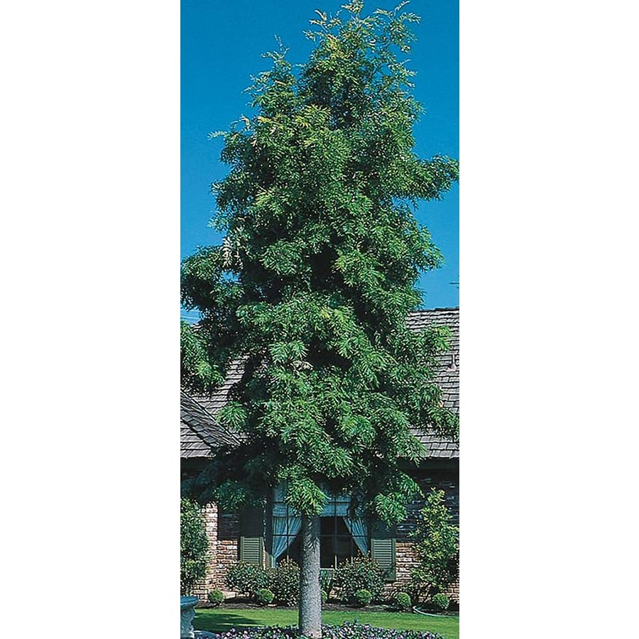 Village Nurseries 3.25-Gallon Silk Oak Tree Shade Tree (L6315)