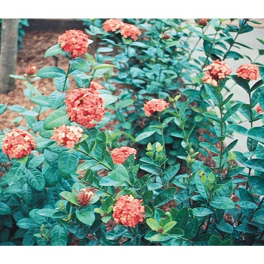 Village Nurseries 3.25-Gallon Mixed Ixora Flowering Shrub (L4348)