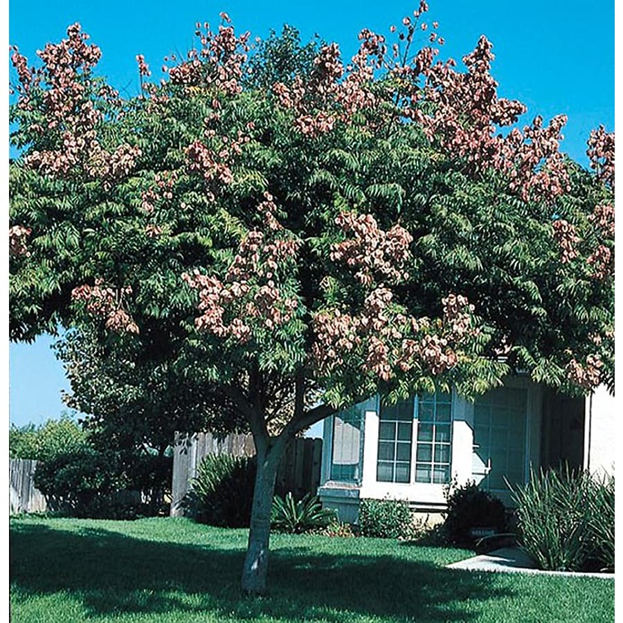 Village Nurseries 10.25-Gallon Golden Raintree Feature Tree (L1159)
