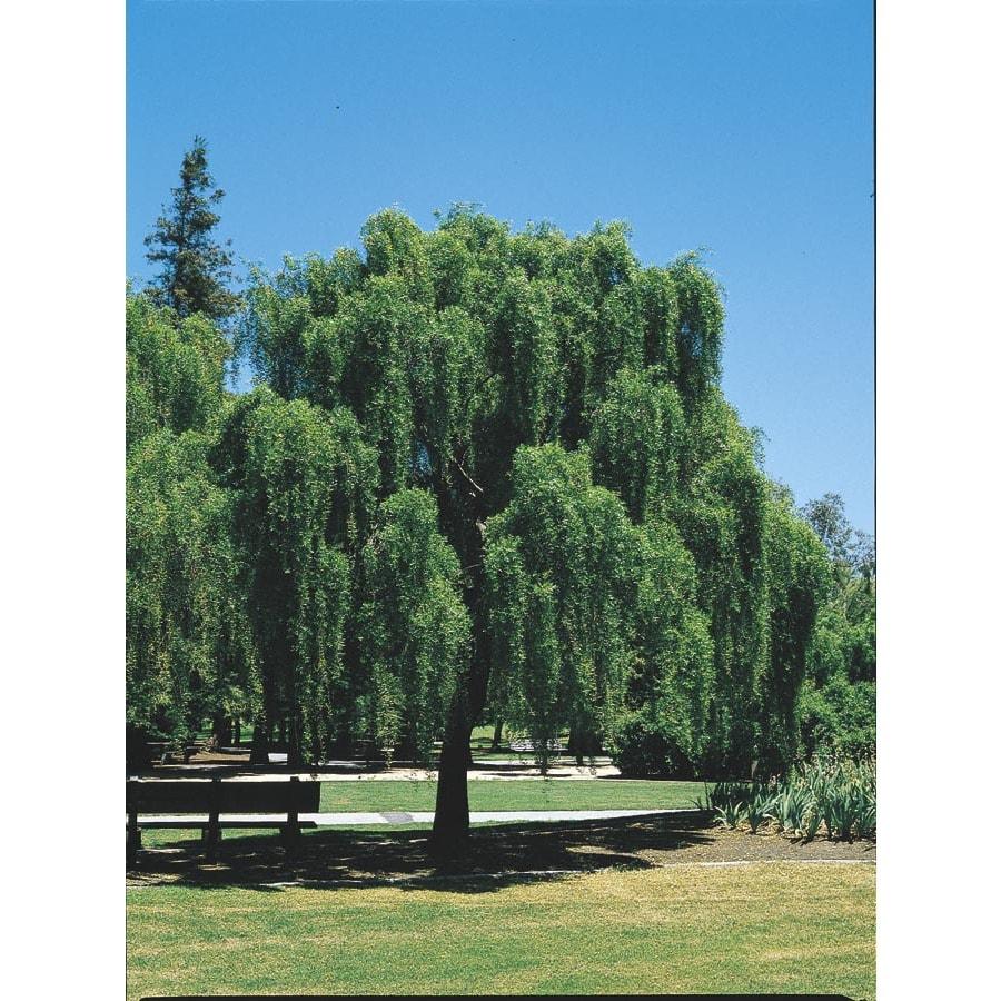 Village Nurseries 10.25-Gallon Mayten Tree Shade Tree (L11749)