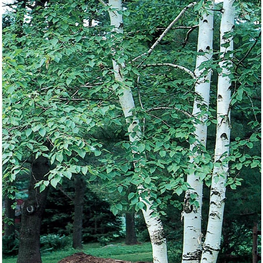 10.25-Gallon Paper Birch Feature Tree (L7304)