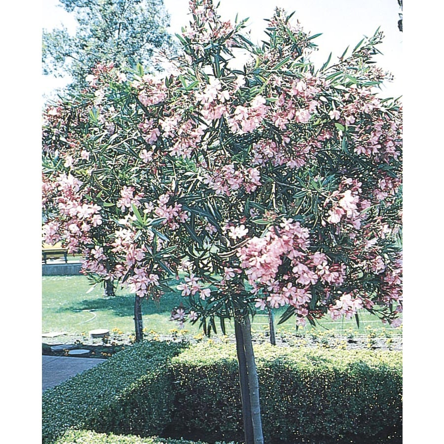 3.25-Gallon Oleander (Tree Form) Flowering Tree (L24109)
