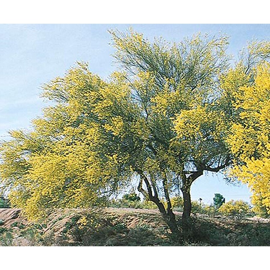 Village Nurseries 3.25-Gallon Blue Palo Verde Feature Tree (L4007)