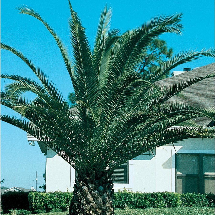 3.58-Gallon Canary Island Date Palm Feature Tree (L7541)