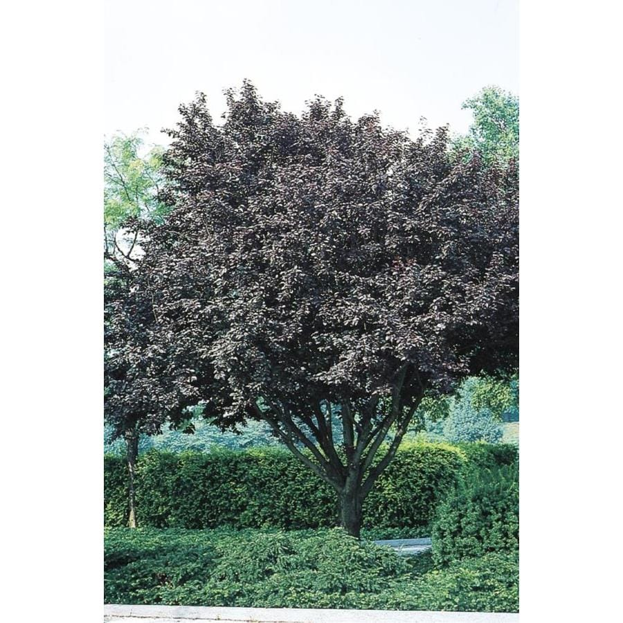 Village Nurseries 28.5-Gallon Flowering Plum Flowering Tree (L5986)