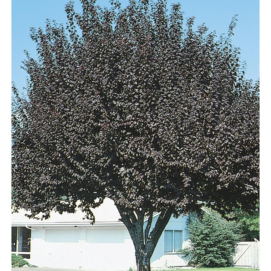 Village Nurseries 3.25-Gallon Newport Plum Flowering Tree (L1011)