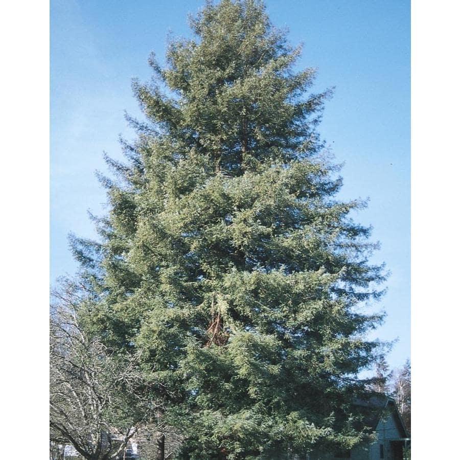 Village Nurseries 28.5-Gallon Coast Redwood Feature Tree (L23063)
