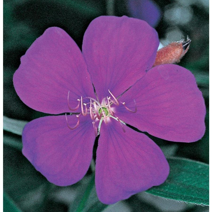 11.1-Gallon Purple Princess Flower Flowering Shrub (L6323)