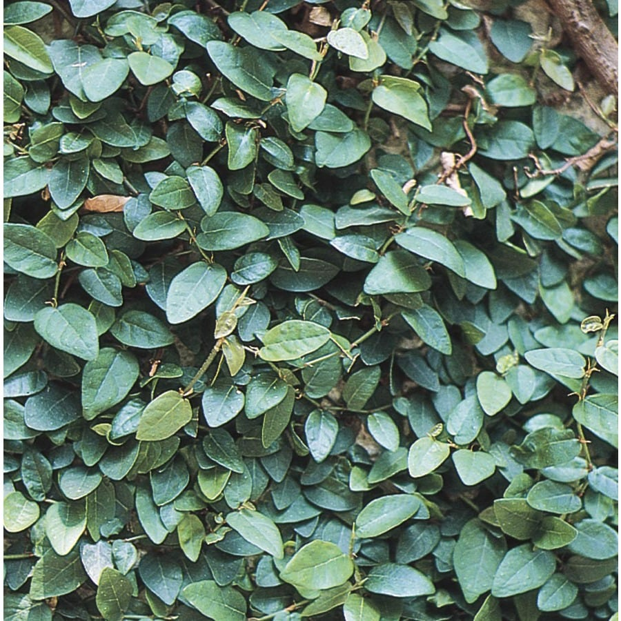 11.1-Gallon Creeping Fig (L10844)