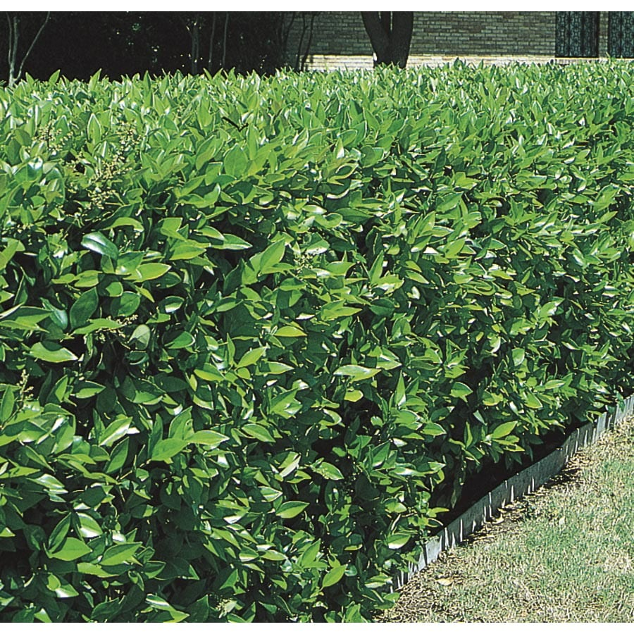 11.1-Gallon White Green Ligustrum Foundation/Hedge Shrub (L7467)