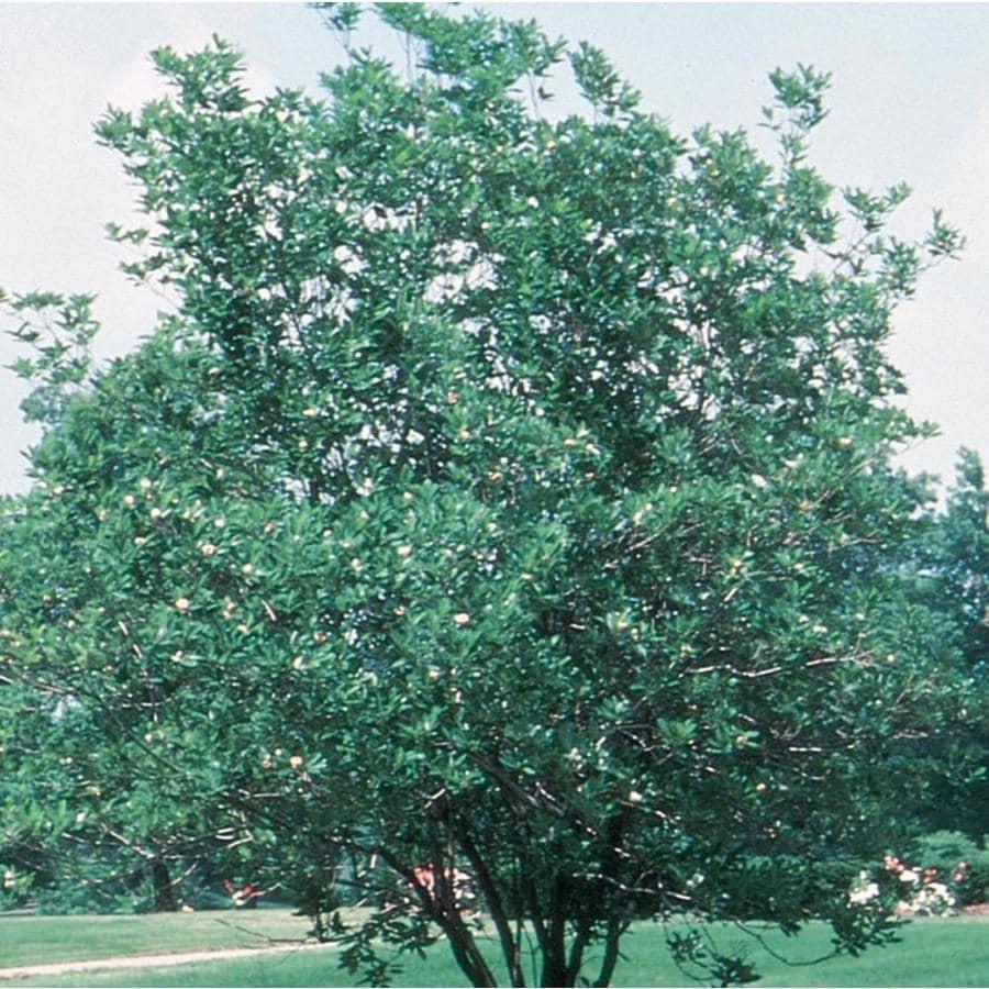 3.58-Gallon Sweet Bay Magnolia Flowering Tree (L1239)