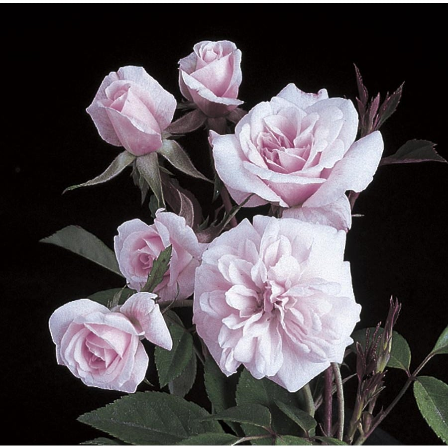 11.1-Gallon Cecile Brunner Climbing Rose (L23768)