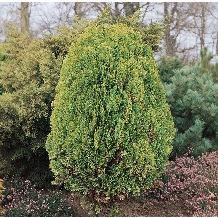 11.1-Gallon Arborvitae Feature Shrub (L6753)