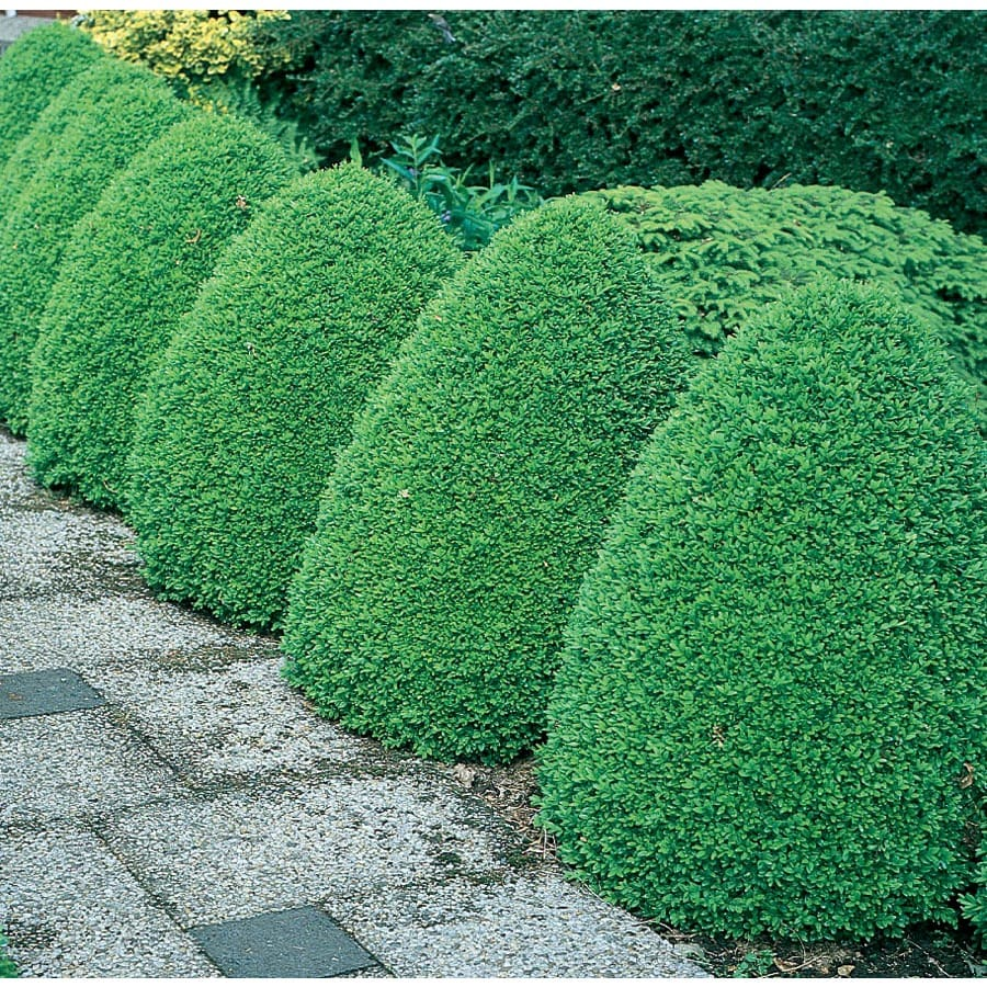 3.25-Gallon Common Boxwood Foundation/Hedge Shrub (L2572)