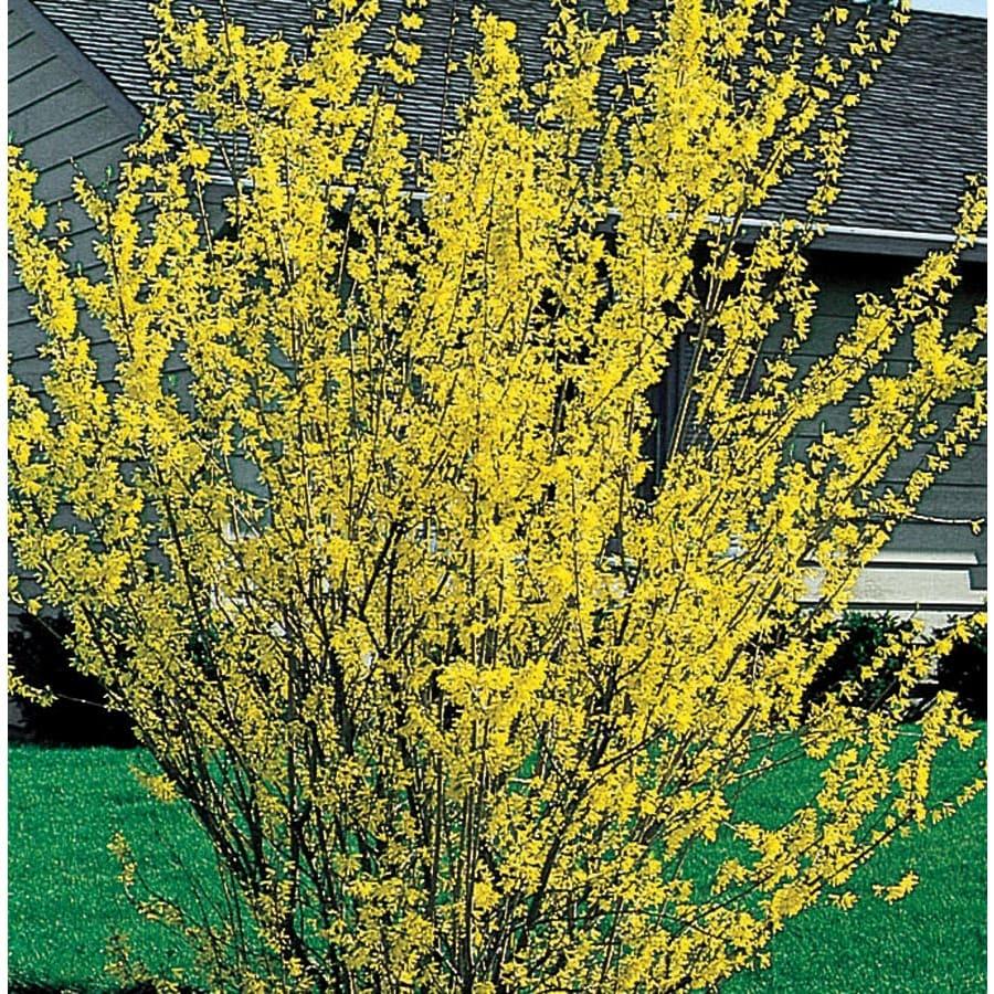 2.84-Quart Yellow Forsythia Flowering Shrub (L3184)