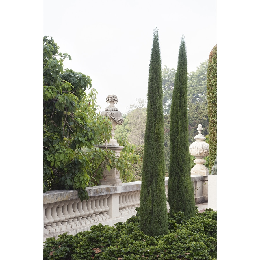 Monrovia 3.58-Gallon Cypress Foundation/Hedge Shrub