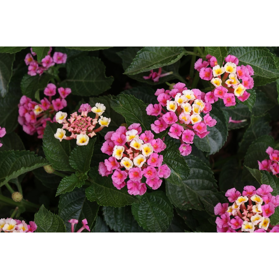 Monrovia 1 Gallon Potted Lantana