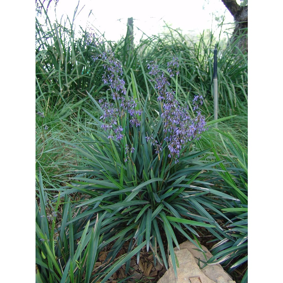 2.6-Quart Blue Flax Lily Accent Shrub