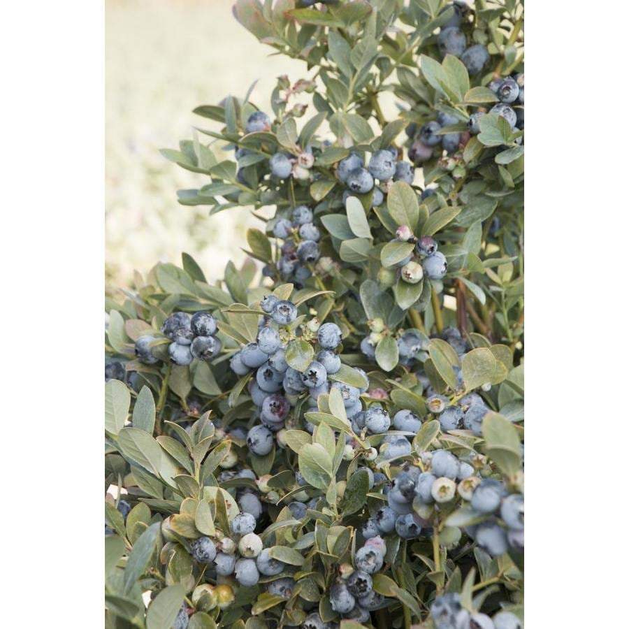 Monrovia 1.5-Gallon Pink Bountiful Blue Blueberry Foundation/Hedge Shrub