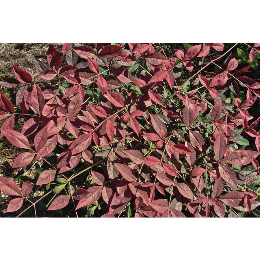 1-Gallon Flirt Nandina Accent Shrub (L23338)