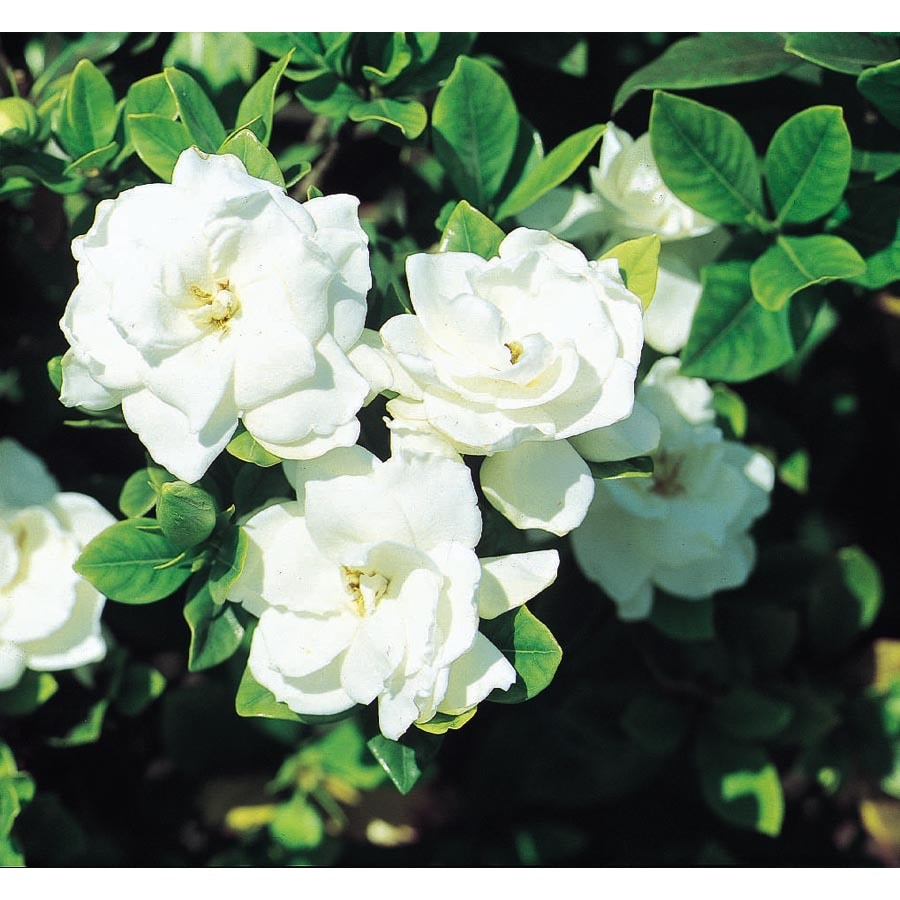 2.84-Quart White Veitchii Gardenia Flowering Shrub (L10719)